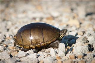 Mud Turtle On Gravel Rocks
