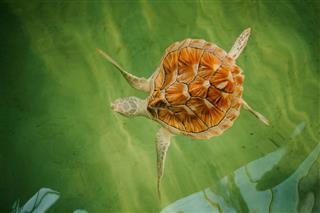 Sea Turtle Diving Down In Pool