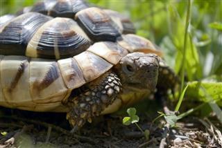 Mediterranean Turtle In Garden
