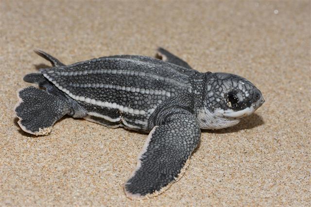 Leatherback Sea Turtle Newborn Profile