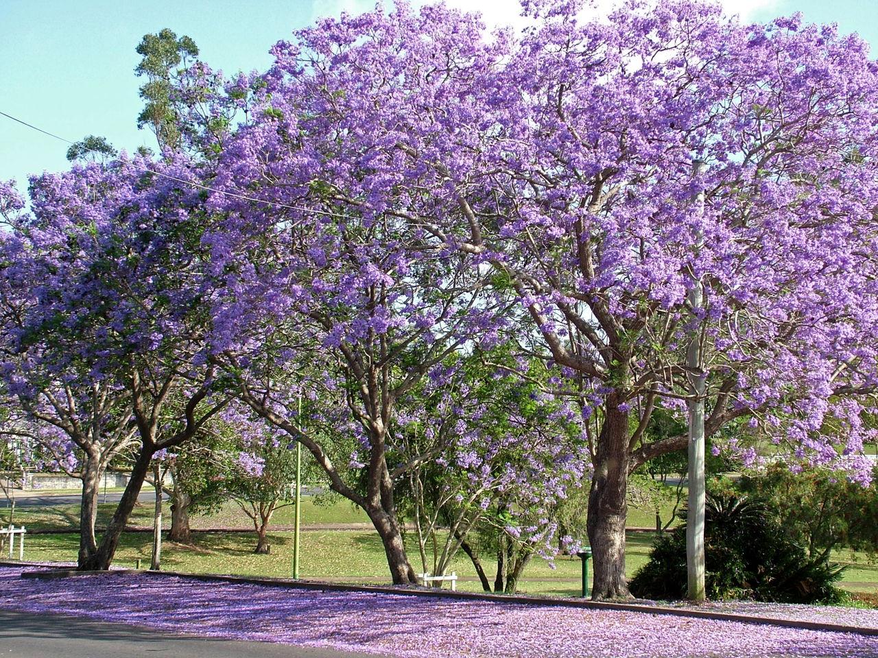 Jacaranda Tree - Gardenerdy