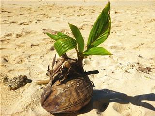 Seed Of A Palm Tree