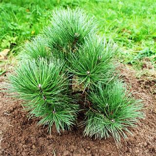 Black Pine Growing In Garden