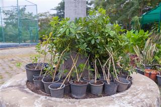 Little Othalanga Tree In Pot