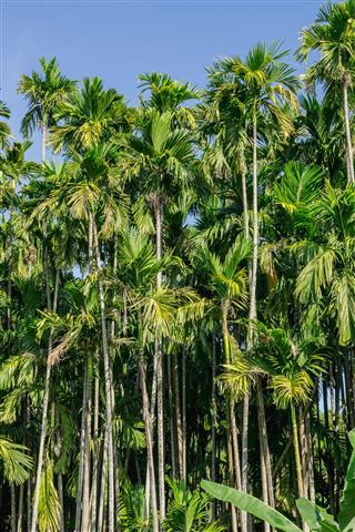 Betel Palm Tree