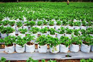 Garden Strawberries In Field