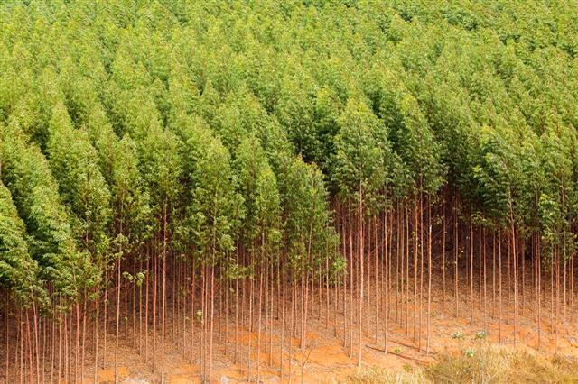 Eucalyptus Plantation In Brazil