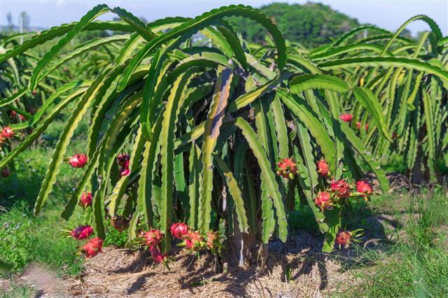 Pitaya Plantation