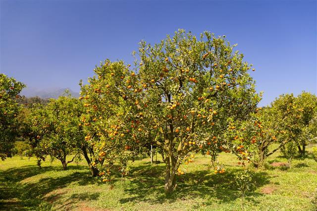 big orchard