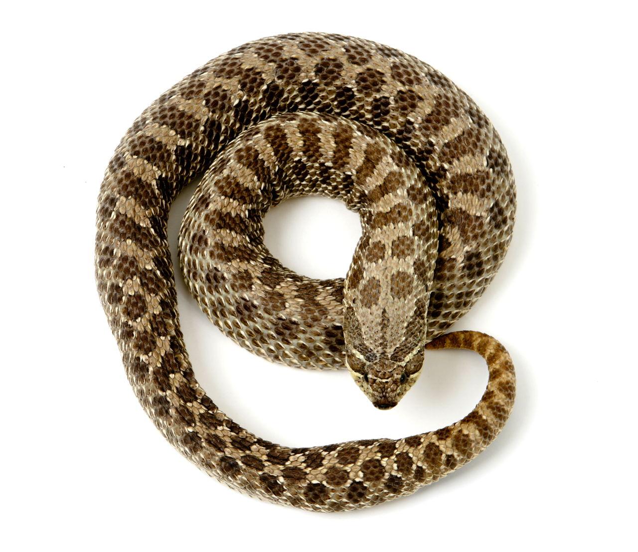 worksheet Life Cycle Of A Snake Worksheet 3 stages in the life cycle of a snake coiled hognose snake