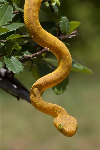 Juvenile Green Bush Viper