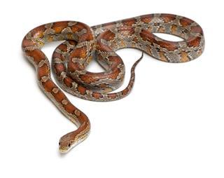 Miami Corn Snake