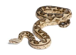 Moorish Viper