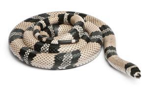 Anerytristic Honduran Milk Snake