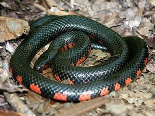 Mud Snake Illinois