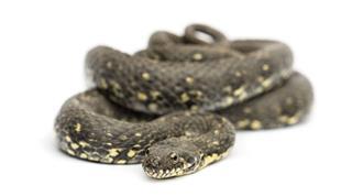 Green Whip Snake Hierophis Viridiflavus