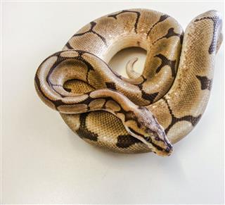 Spider Morph Royal Python