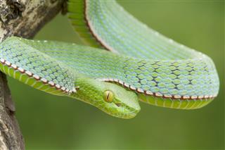 Poisonous Snake Descending From Tree