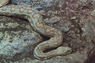 Turan Blunt Nosed Viper