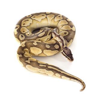 Yellow Python Regius