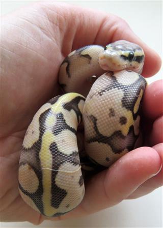 Baby Royal Python