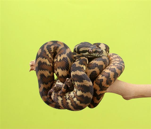 Darwin Python Snake