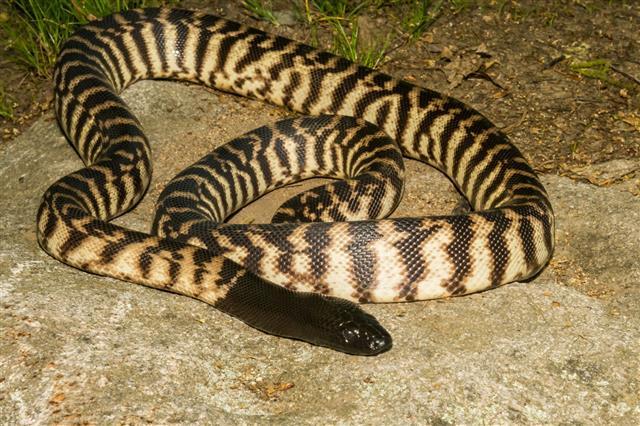 Black Headed Python