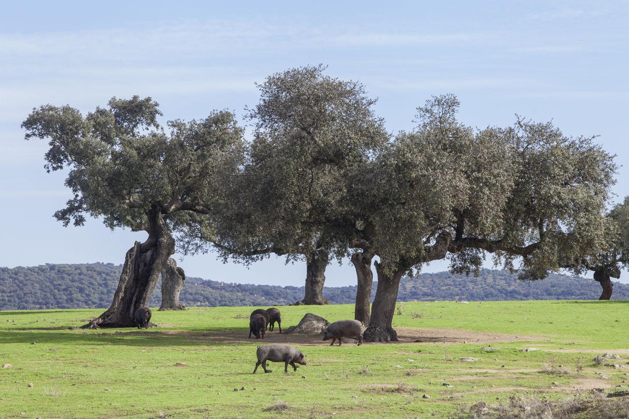 Tree symbolism herd of iberian pigs biocorpaavc