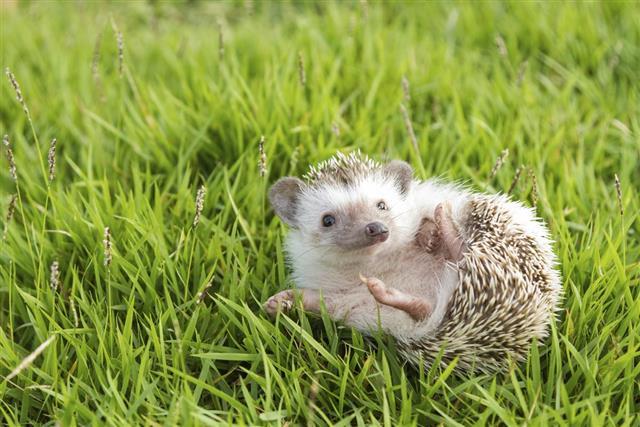 Hedgehog in the garden  African pygmy hedgehog