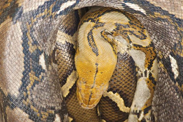 Big python sleeping