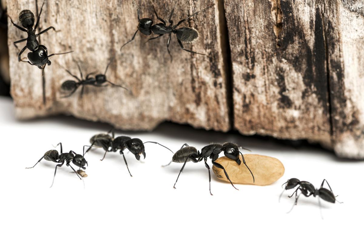 Astounding Tactful Ways To Get Rid Of Black Ants In The House Beutiful Home Inspiration Semekurdistantinfo
