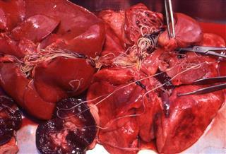 Heartworm Dirofilaria immitis in organs at necropsy