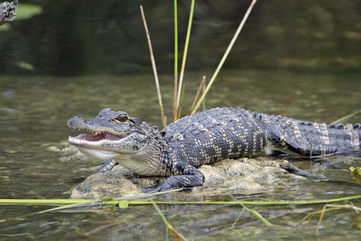 Oak Island Alligators