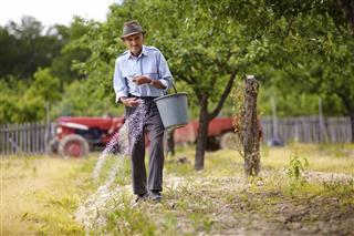 Old farmer fertilizing in an orchard