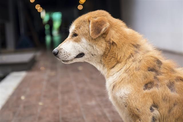 Stray dog skin disease