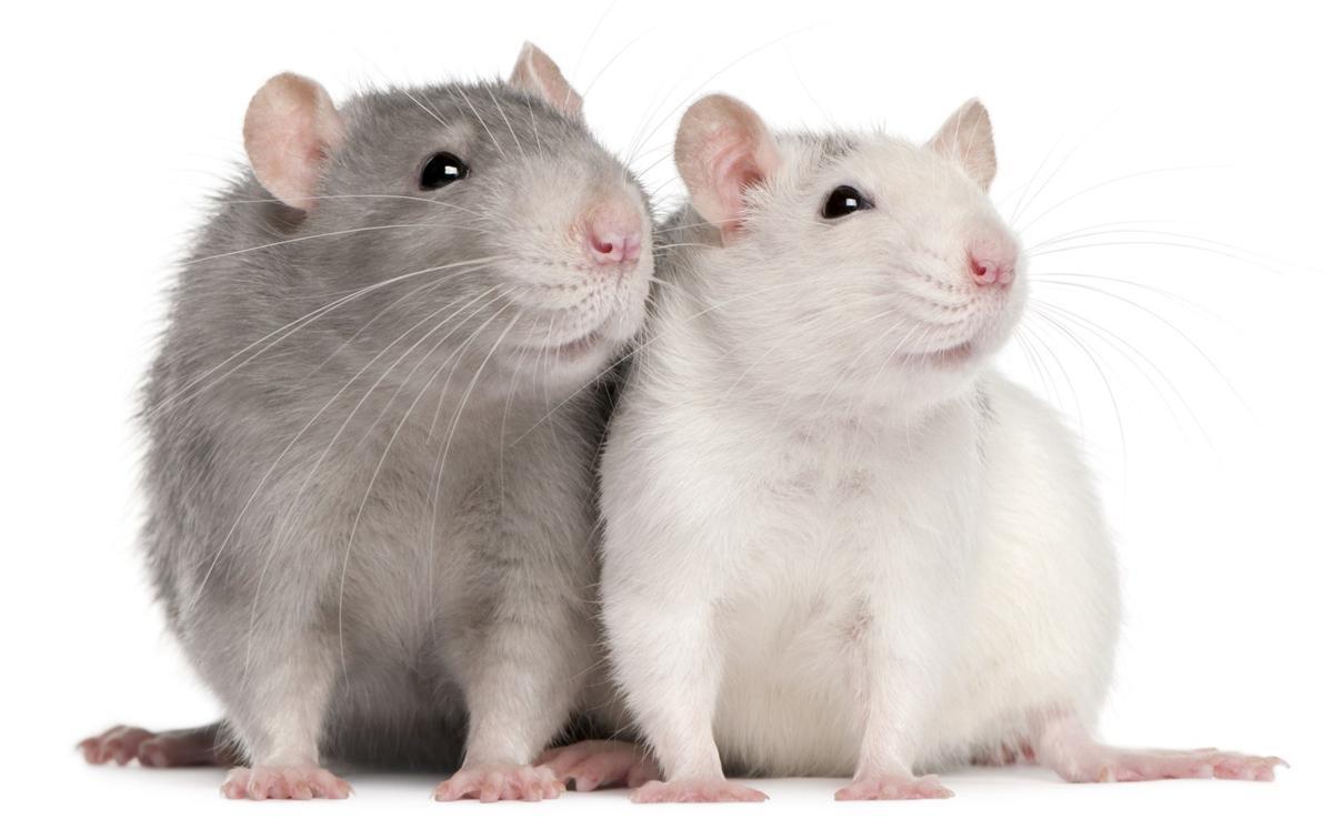 Anatomy Of A Rat