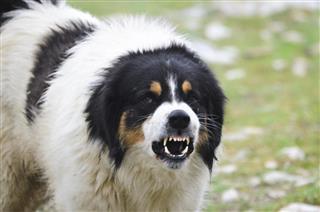 Angry Guard Dog snarling