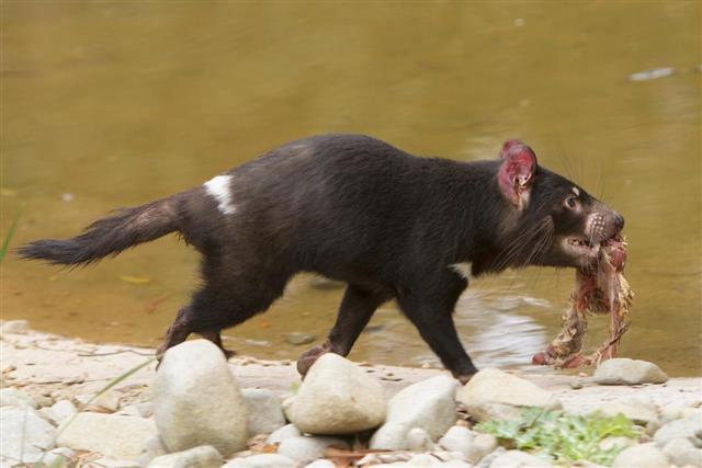 Tasmanian Devil Feeding