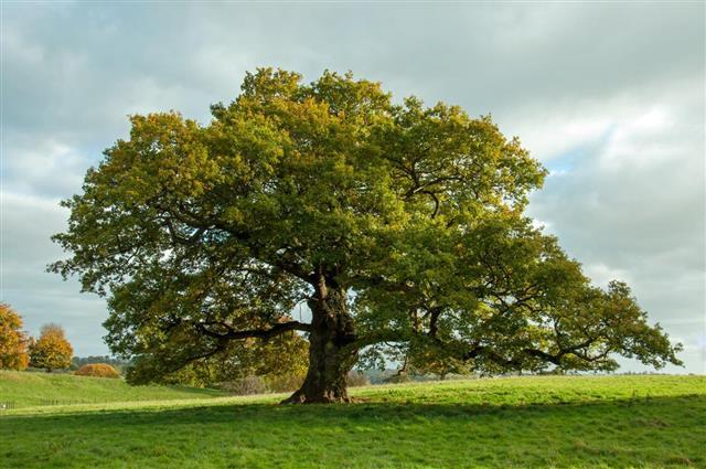 Nice Big Oak Tree
