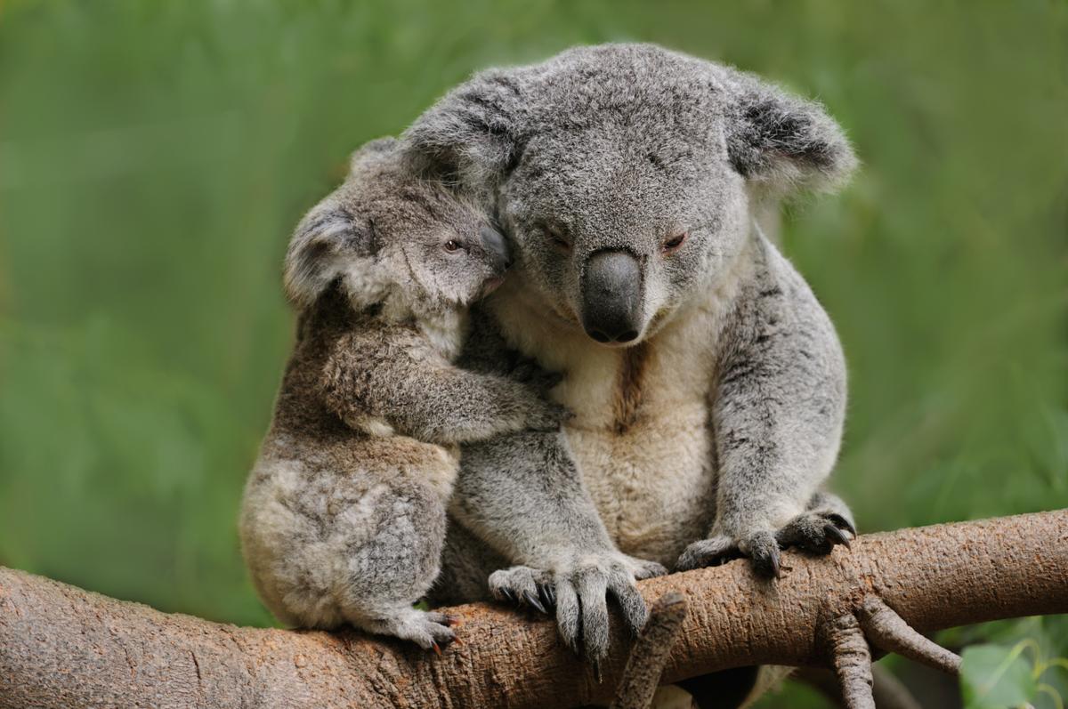 koala bears as pets. Black Bedroom Furniture Sets. Home Design Ideas