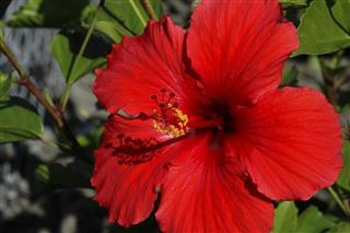 Red hibiscus Hibiscus rosa-sinensis flower