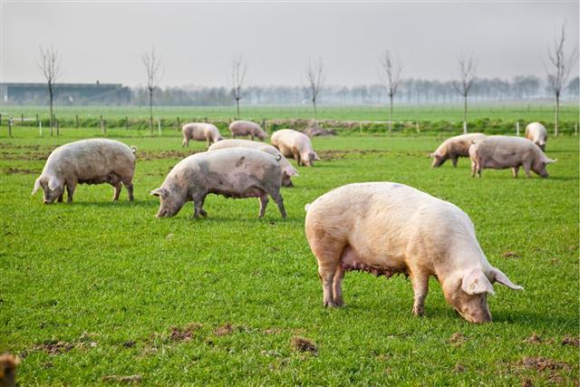Pigs springtime