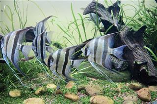 Altum angelfish Pterophyllum altum