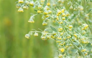 Healing herbs - Artemisia absinthium