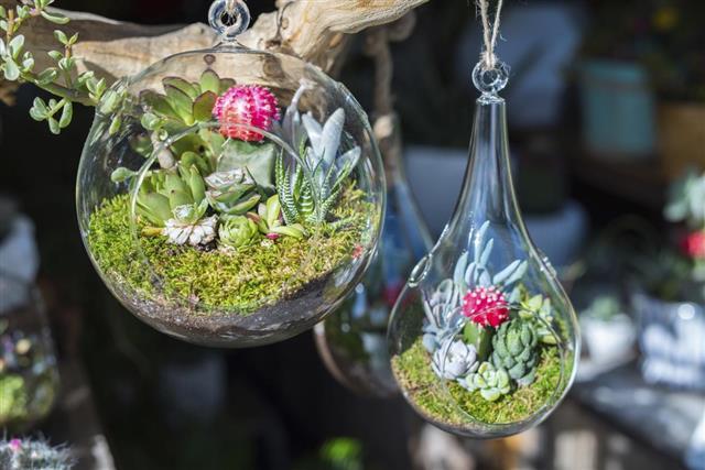 Mini-succulents in glass terrariums