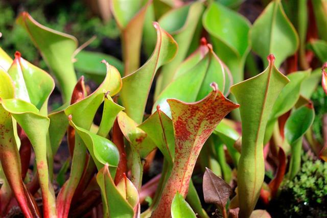 Image of carnivorous sun pitcher plants pitfall traps (Heliamphora)