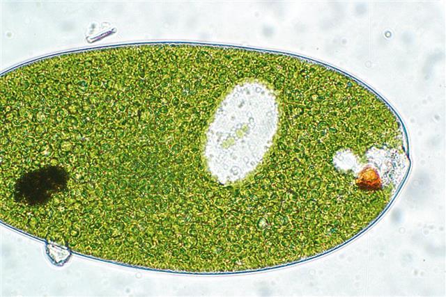Euglena Photomicrograph