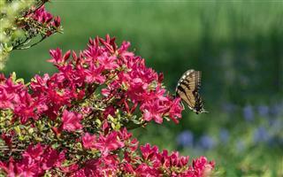 Monarch Butterfly On Red Azalea Bush