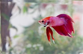 Exotic Beta fish