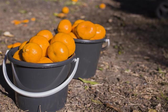 Two full buckets of mandarins